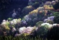 大峰山山桜まつり